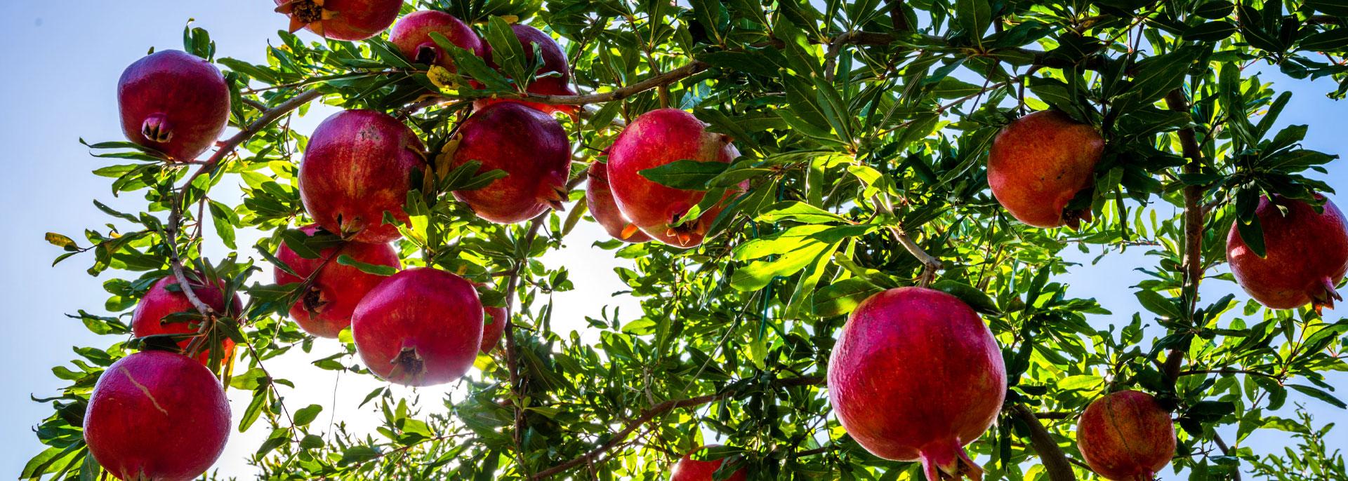 Φωτογραδία Δέντρου Ροδιάς